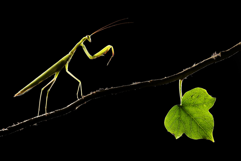 The leaf and the mantis