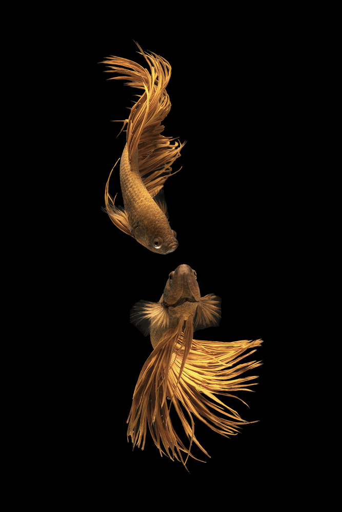 Love Story of the Golden Fish