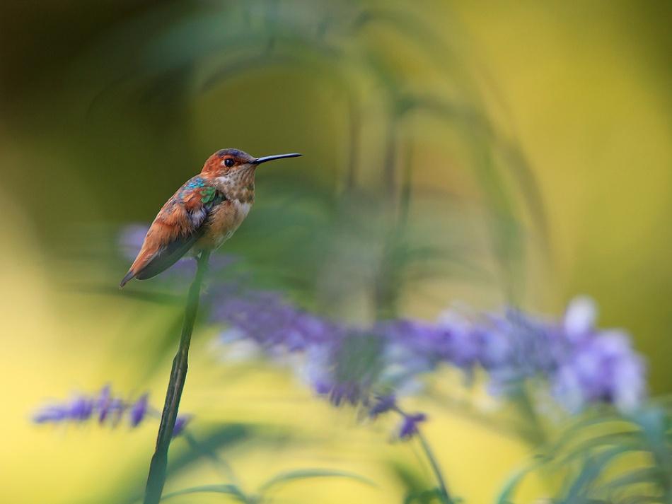 A piece of fine art art photography titled Allen's Hummingbird by ProSwedePhoto