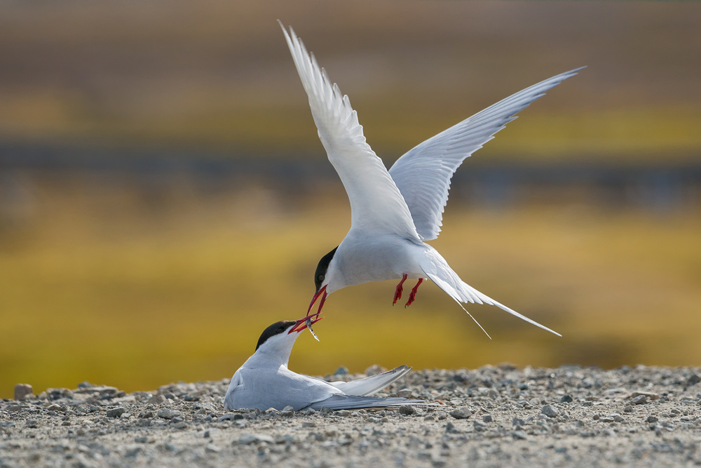 A piece of fine art art photography titled Arctic Terns by Alexey Kharitonov