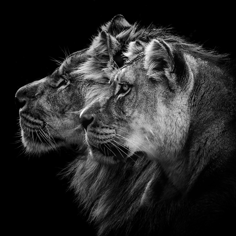 A piece of fine art art photography titled Lion and  Lioness Portrait by Laurent Lothare Dambreville