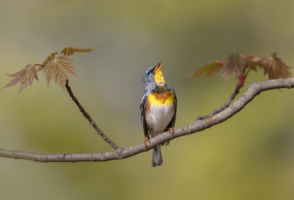 A piece of fine art art photography titled Parula On Stage by Greg Barsh