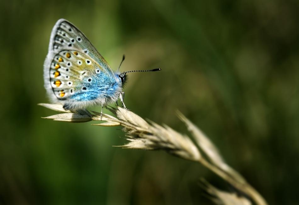 A piece of fine art art photography titled Polyommatus Amandus by Niels Christian Wulff