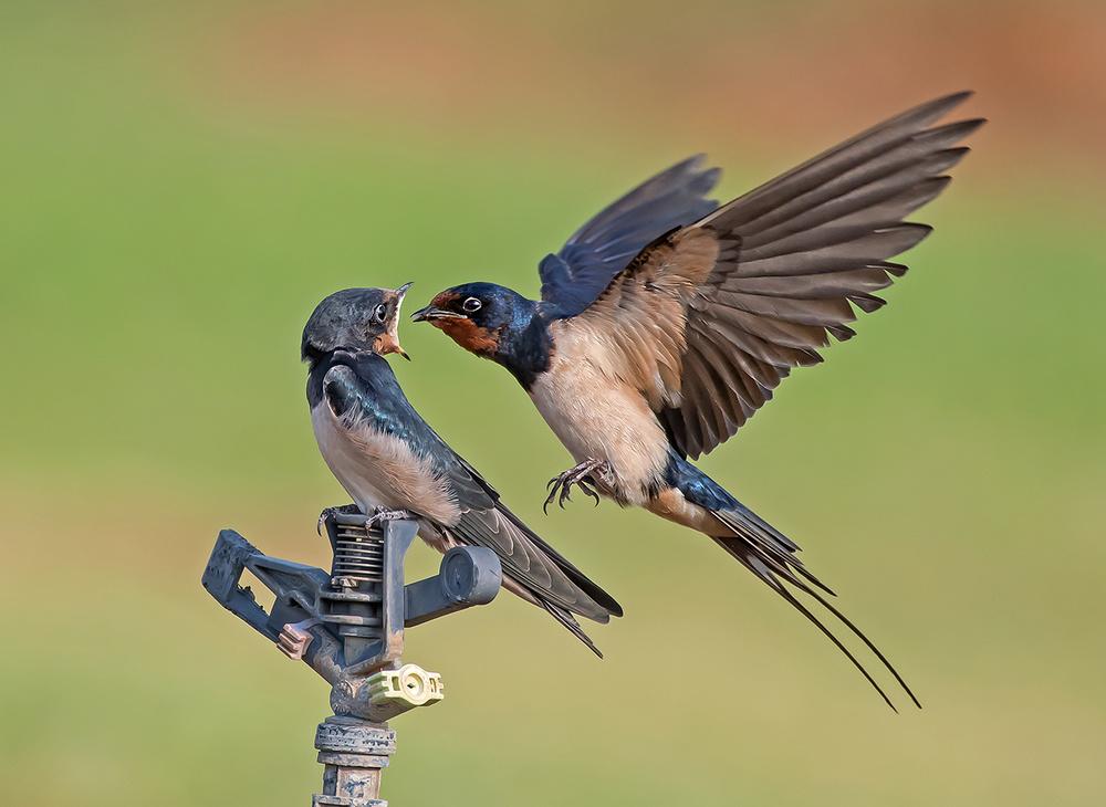A piece of fine art art photography titled Barn Swallow by yaki zander