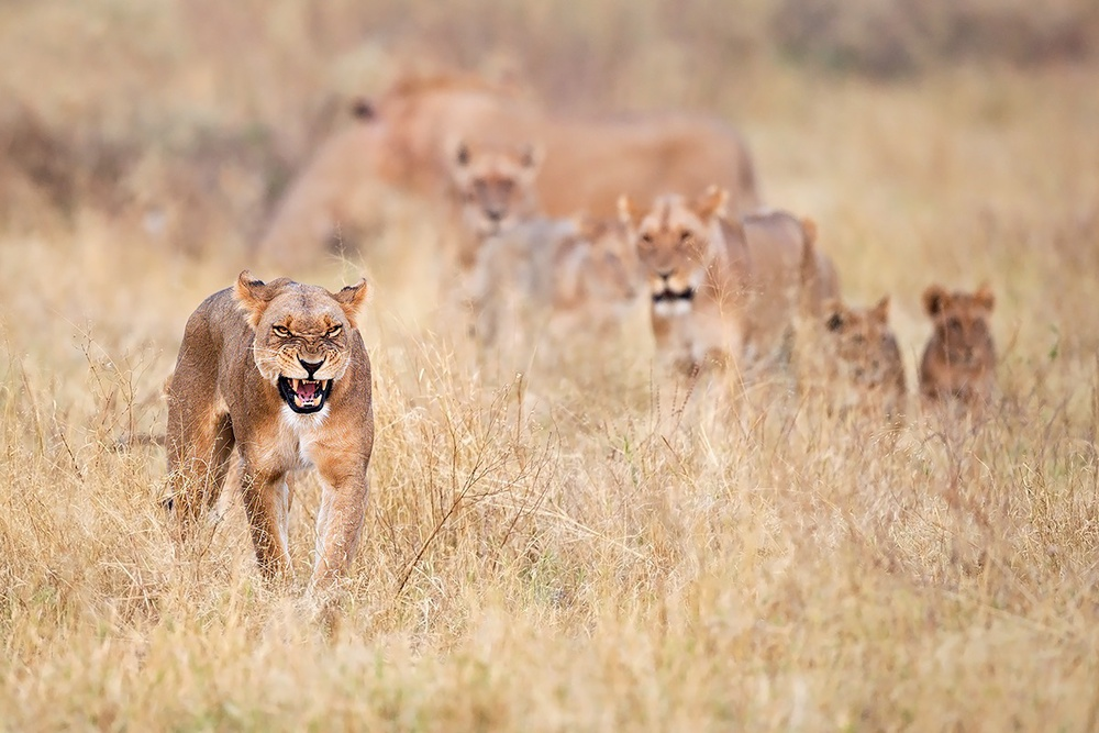 A piece of fine art art photography titled Lions by Marco Pozzi