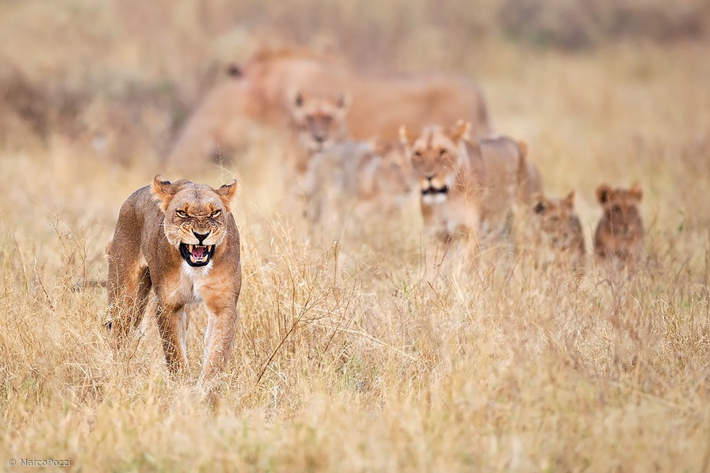View this piece of fine art photography titled Lions by Marco Pozzi