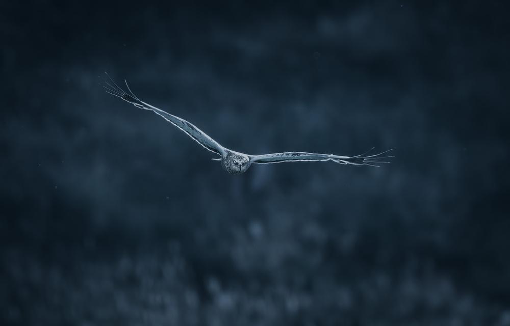 Brown marsh hawk