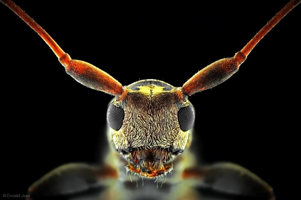 Flat-Headed Longhorn Beetle