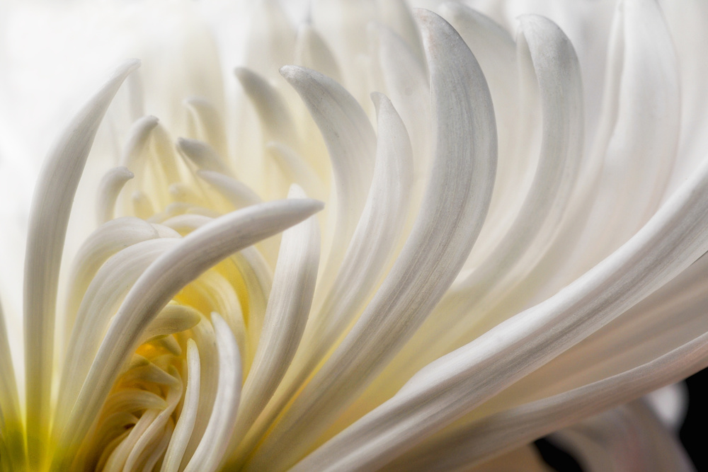 A piece of fine art art photography titled Dahlia 5 by David Rothstein