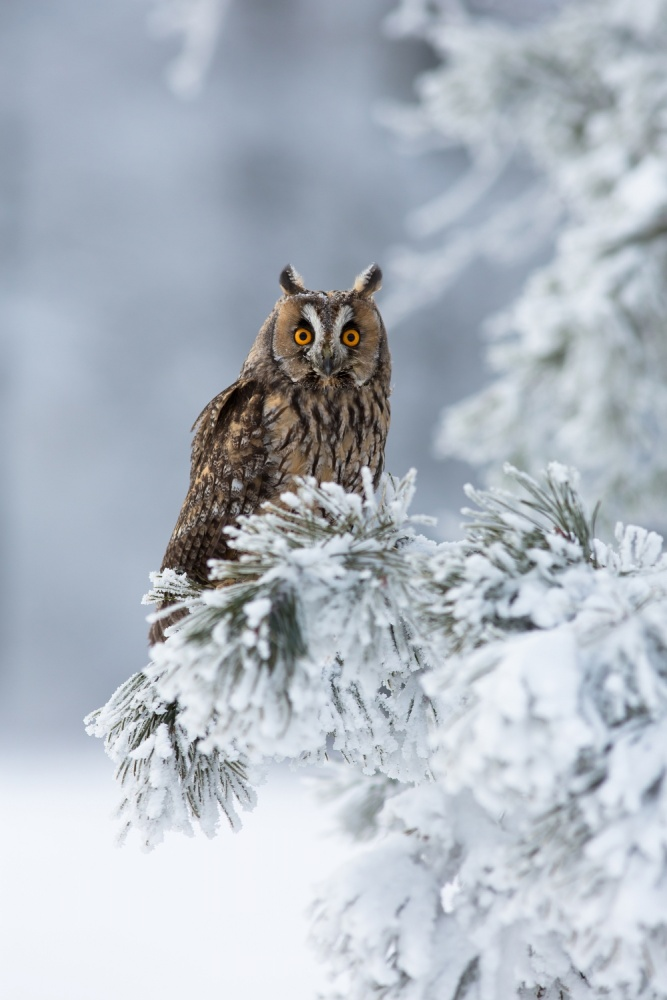 A piece of fine art art photography titled  Long-eared Owl by Milan Zygmunt