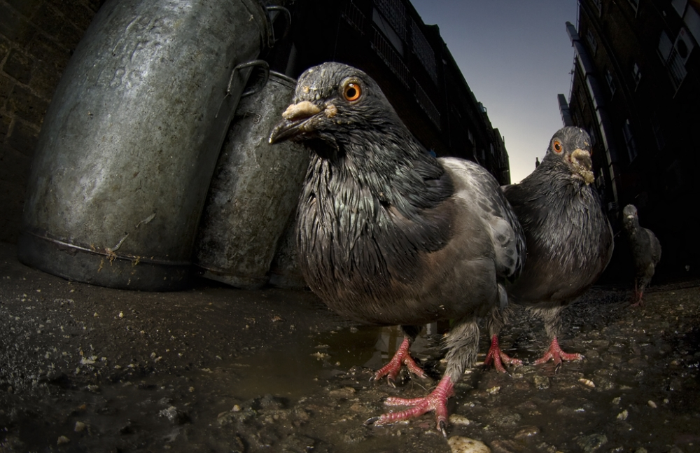 A piece of fine art art photography titled Pigeon Mugging by simondeg