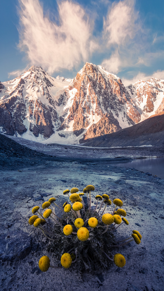 Snow Mountain Camomile 《天山甘菊》