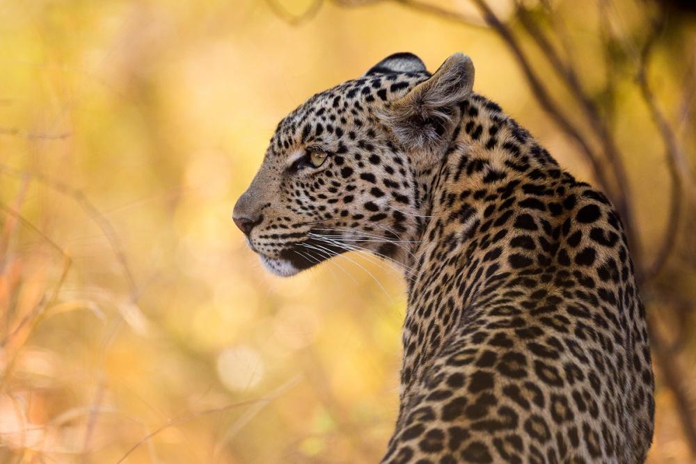 Kgabo Leopardess