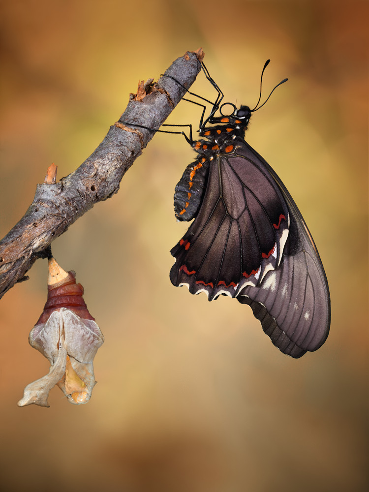 A piece of fine art art photography titled Birth of a Swallowtail by Jimmy Hoffman