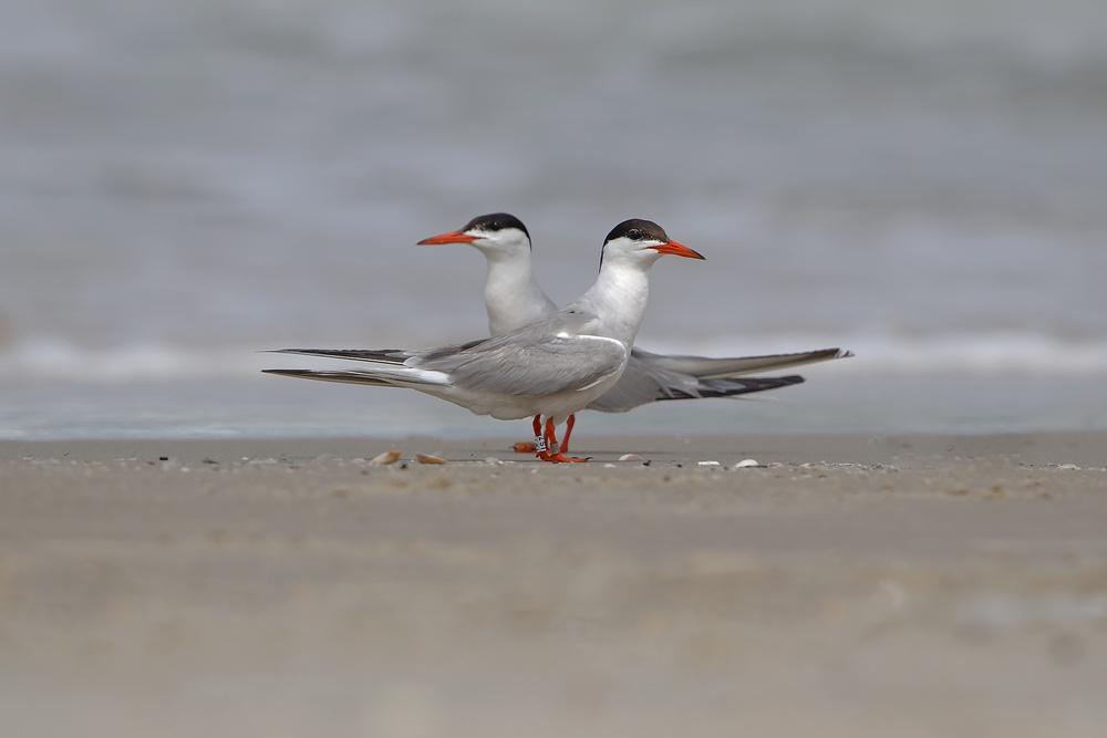 A piece of fine art art photography titled Common Tern by Shlomo Waldmann