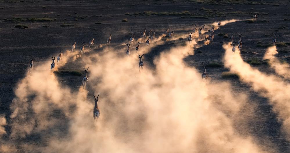 thomson gazelle in sunset