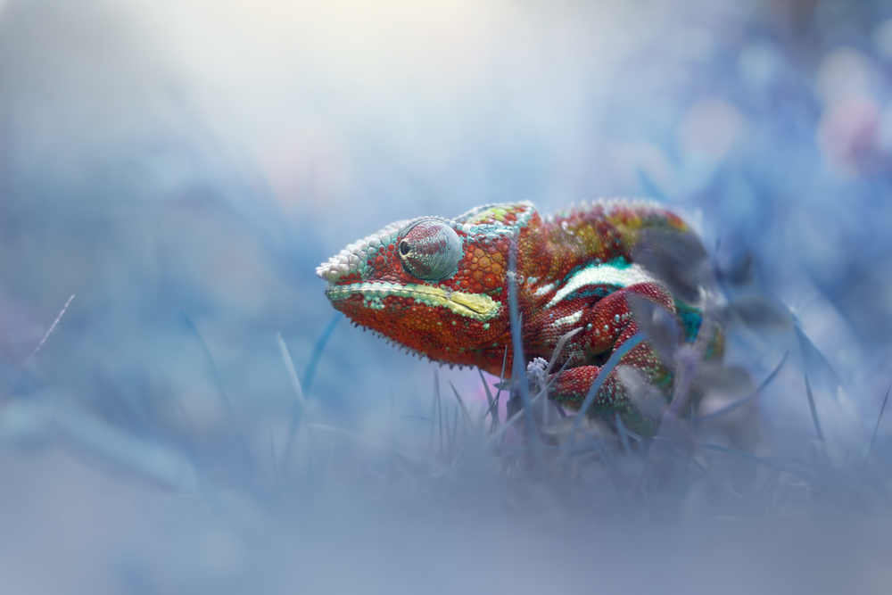 A piece of fine art art photography titled Chameleon Phanter by andri priyadi