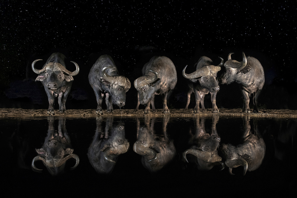 View this piece of fine art photography titled Buffaloes in the waterhole at night by Xavier Ortega