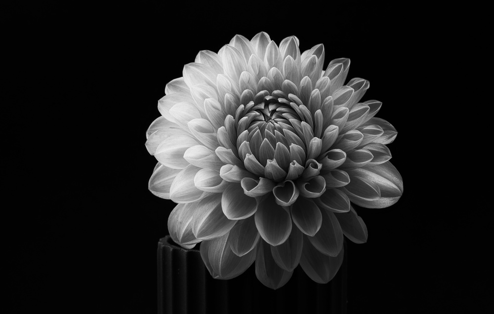 View this piece of fine art photography titled Dahlia by Lotte Grønkjær