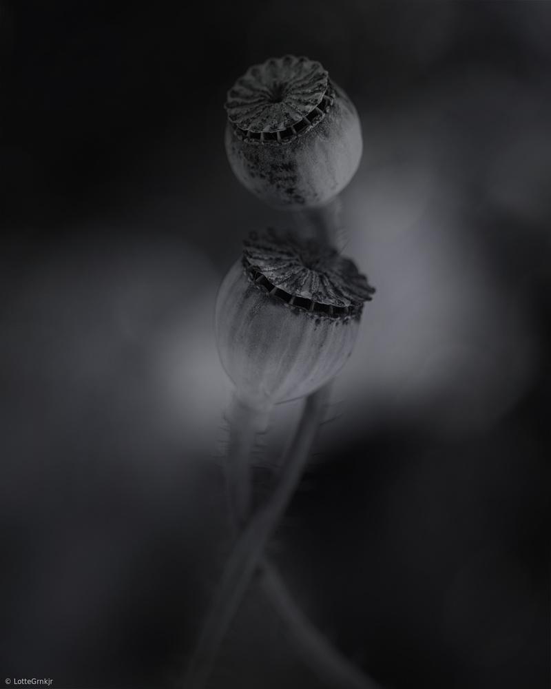 A piece of fine art art photography titled Old Poppies by Lotte Grønkjær