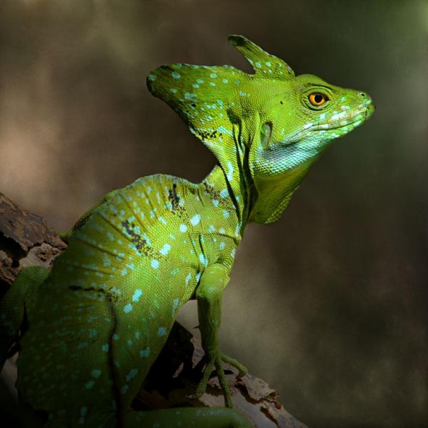 A piece of fine art art photography titled Emerald Basilisk by Jimmy Hoffman