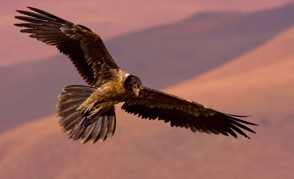 A piece of fine art art photography titled Young Bearded Vulture 4 by Francois Loubser