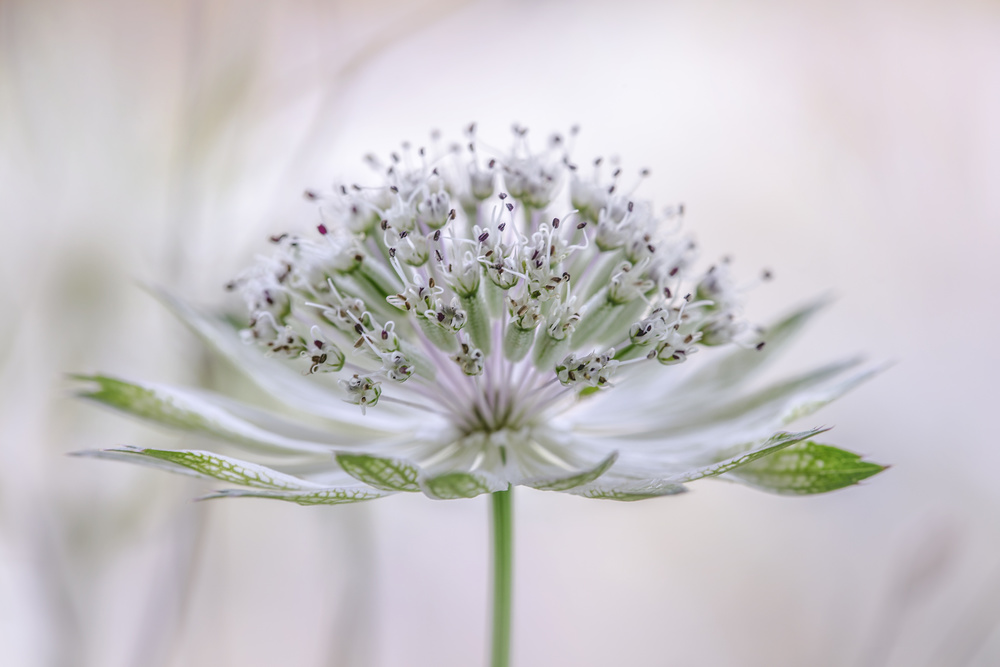 A piece of fine art art photography titled Astrantia by Mandy Disher