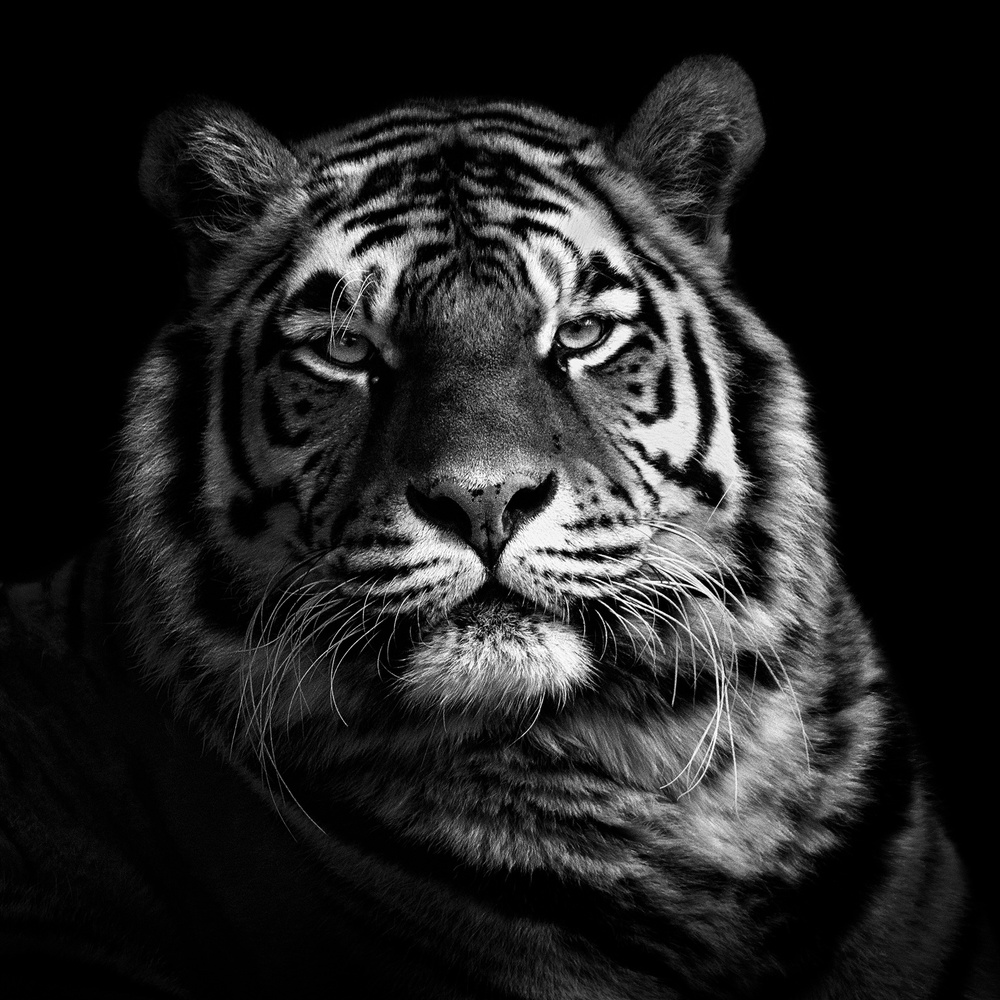 A piece of fine art art photography titled Tiger by Christian Meermann
