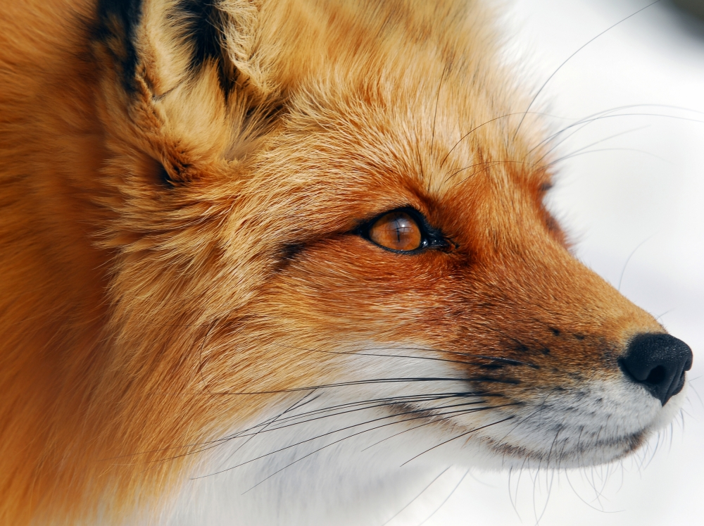 A piece of fine art art photography titled Red Fox by Alain Turgeon