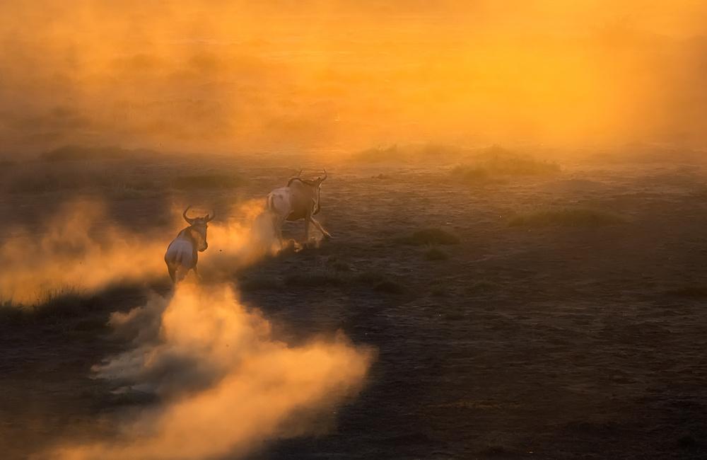 Wildebeest running   in  the sunset ,