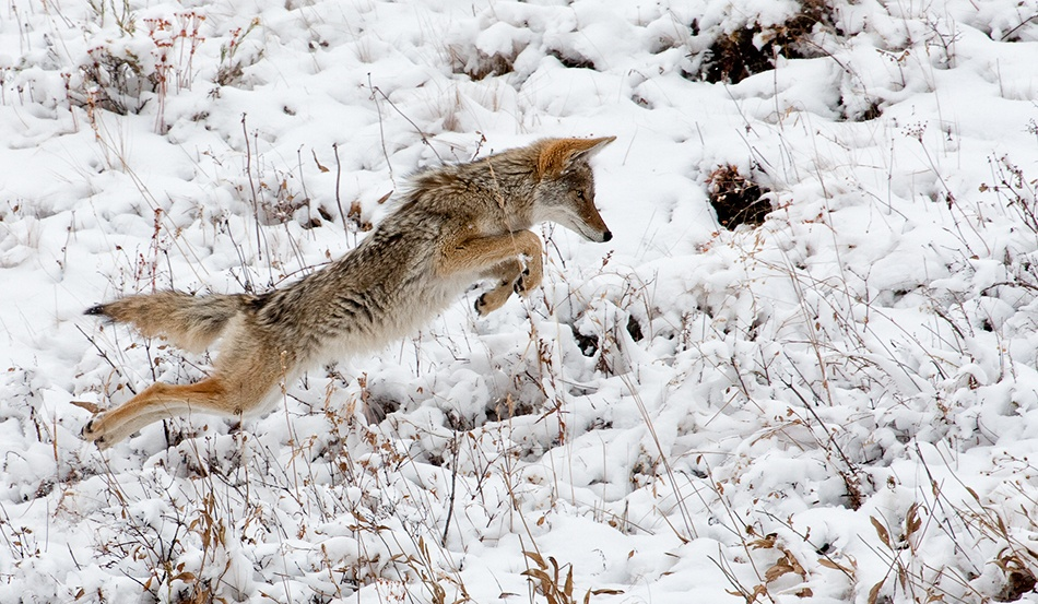 A piece of fine art art photography titled Pouncing !! by Alfred Forns