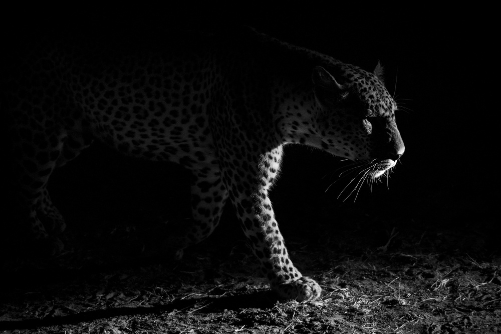 View this piece of fine art photography titled Leopard night hunt by Hannes Bertsch