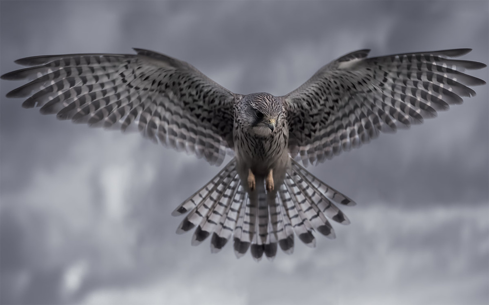 A piece of fine art art photography titled Kestrel In Hunt Mode by Alex Saberi