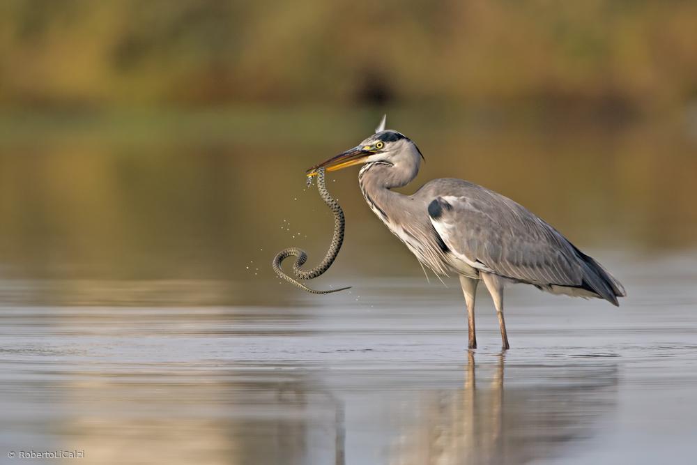 Grey heron and the Natrix