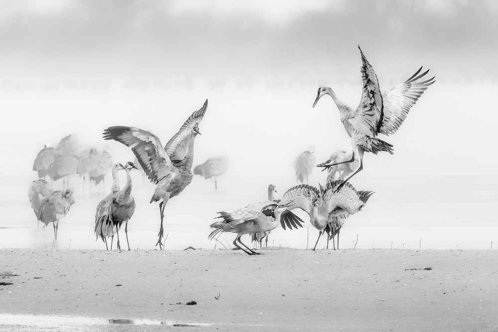 A piece of fine art art photography titled Sandhill Cranes In Morning by Jun Zuo