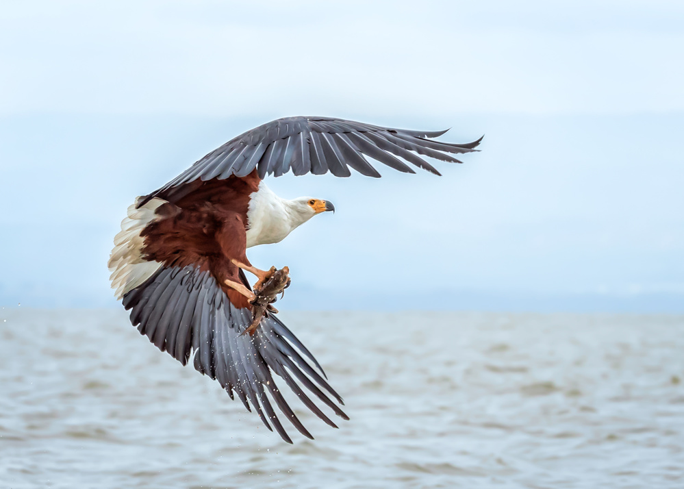 A piece of fine art art photography titled African Fish Eagle by John J. Chen