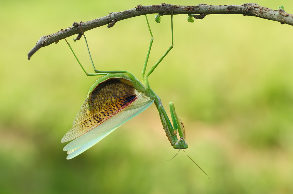 A piece of fine art art photography titled Angry Mantis by Gunarto Song