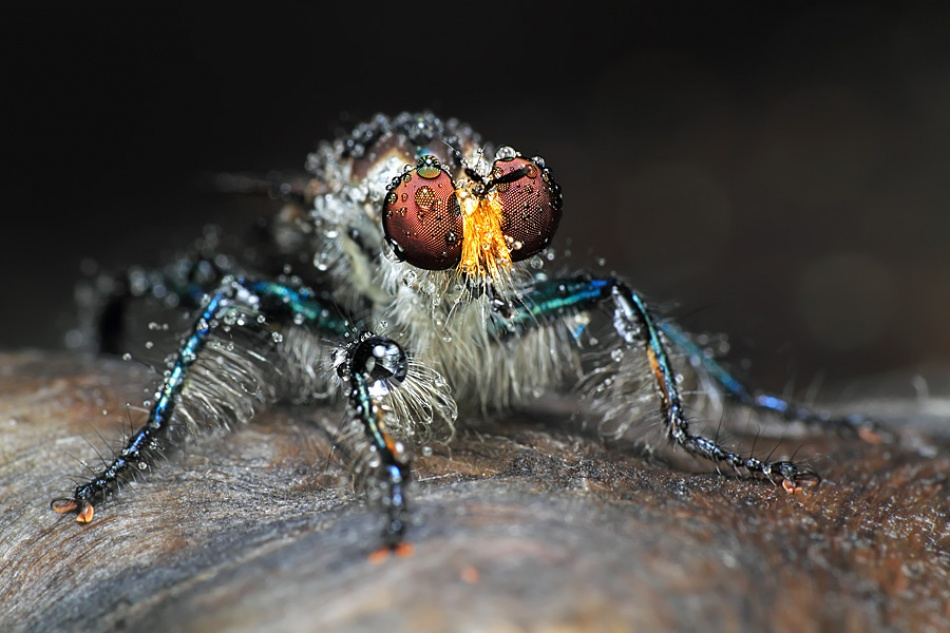 A piece of fine art art photography titled Blue Robberfly by shikhei goh
