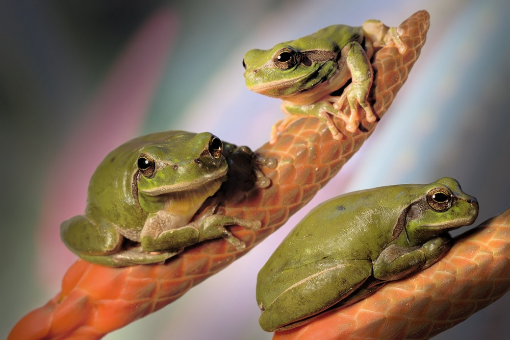 A piece of fine art art photography titled Treefrogs by Jimmy Hoffman