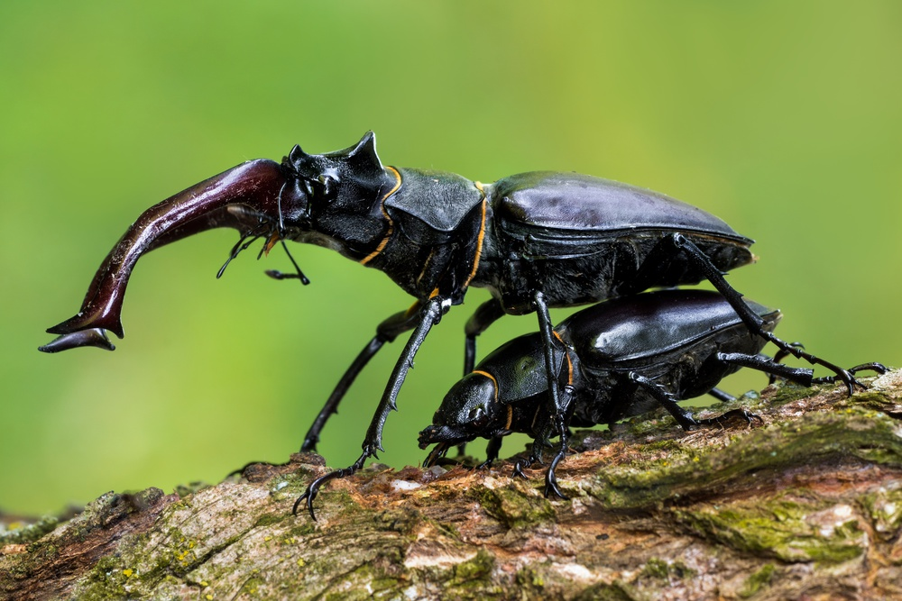 Stag beetle mating