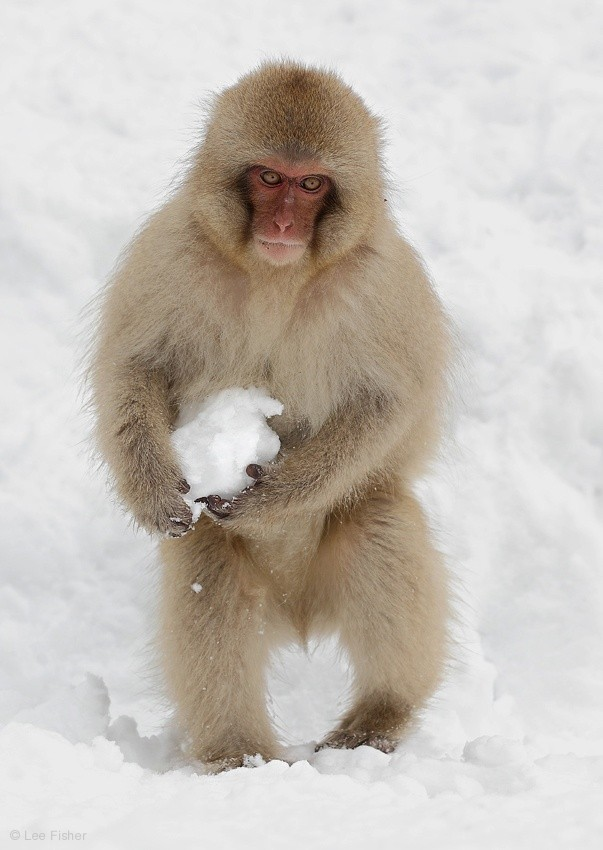 PLAYFUL SNOW MONKEY