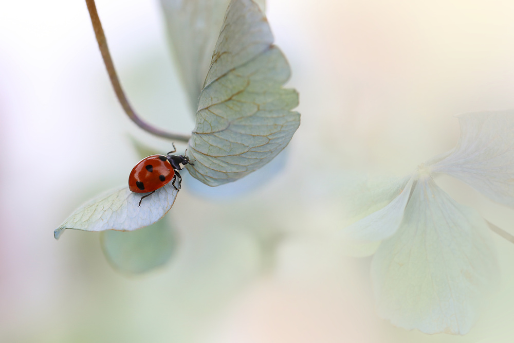 A piece of fine art art photography titled Ladybird On Blue-green Hydrangea by Ellen van Deelen