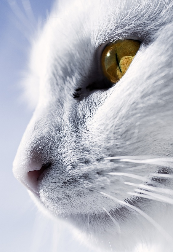 A piece of fine art art photography titled The Whitest Cat I Know by Villi