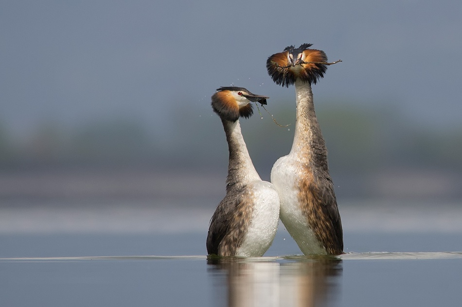 A piece of fine art art photography titled Podiceps Cristatus - Love Dance With Gift from the Deep by Svetoslav Cvetanov