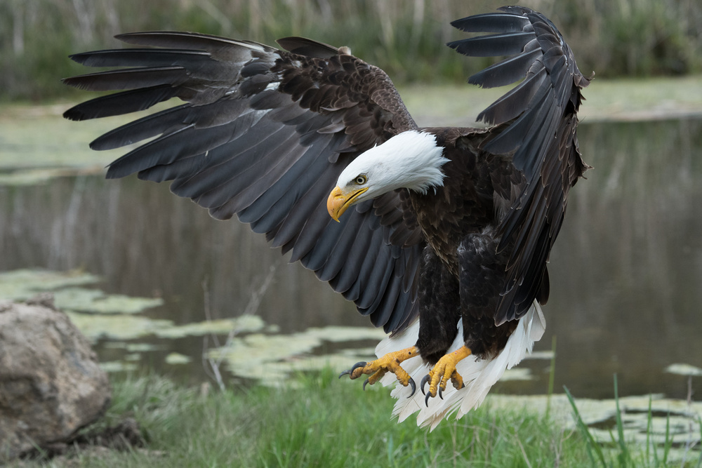 A piece of fine art art photography titled Bald Eagle by Darlene Hewson