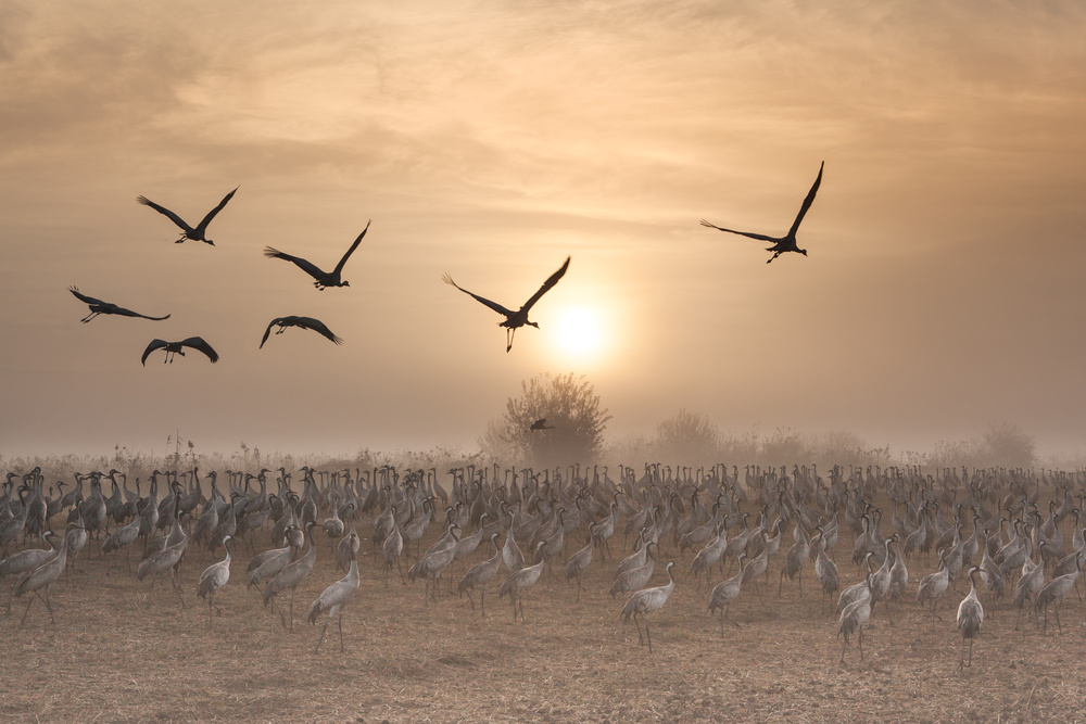 A piece of fine art art photography titled Cranes at Sunrise by Natalia Rublina