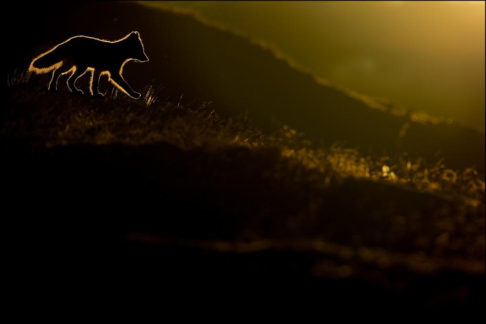 A piece of fine art art photography titled Arctic Fox by Georg Scharf