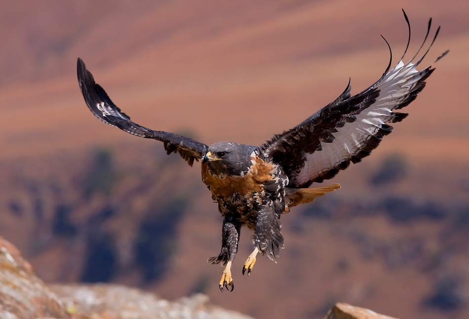 A piece of fine art art photography titled Jackal Buzzard 6 by Francois Loubser