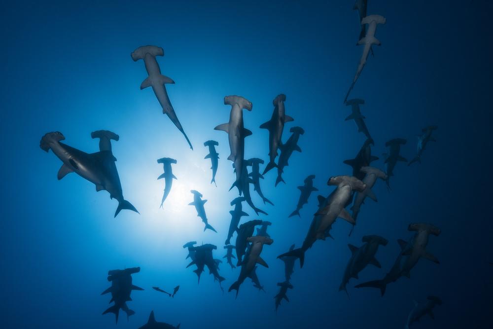A piece of fine art art photography titled Hammerhead Shark - Underwater Photography by Barathieu Gabriel
