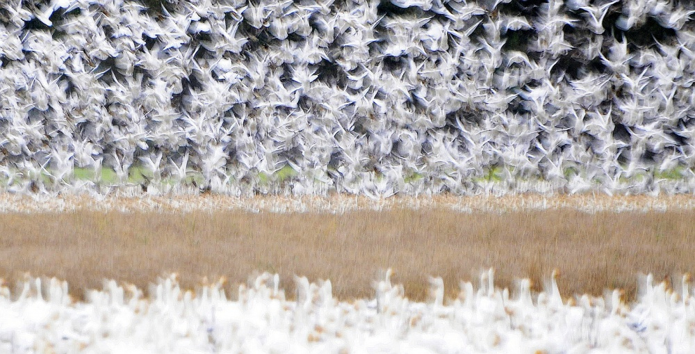 A piece of fine art art photography titled Snow Geese by Fred Zhang